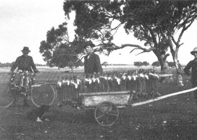 In the 1920s many of the young local lads made a living from trapping rabbits. Edgar and Wall Schrapel were very proud of their catch as shown by this photo. Lou Thomas is using his pushbike to carry his catch.
